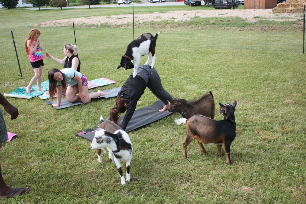 Goat yoga at Lambs Down Park Festival 2018