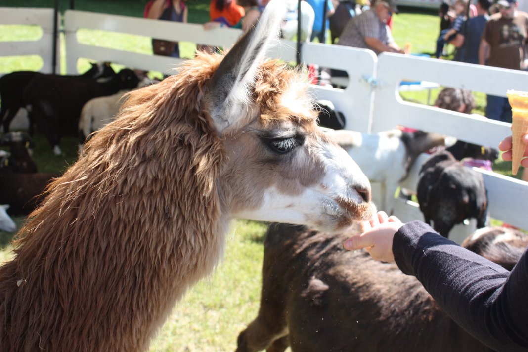 petting zoo  at Lambs Down Park Festival 2018