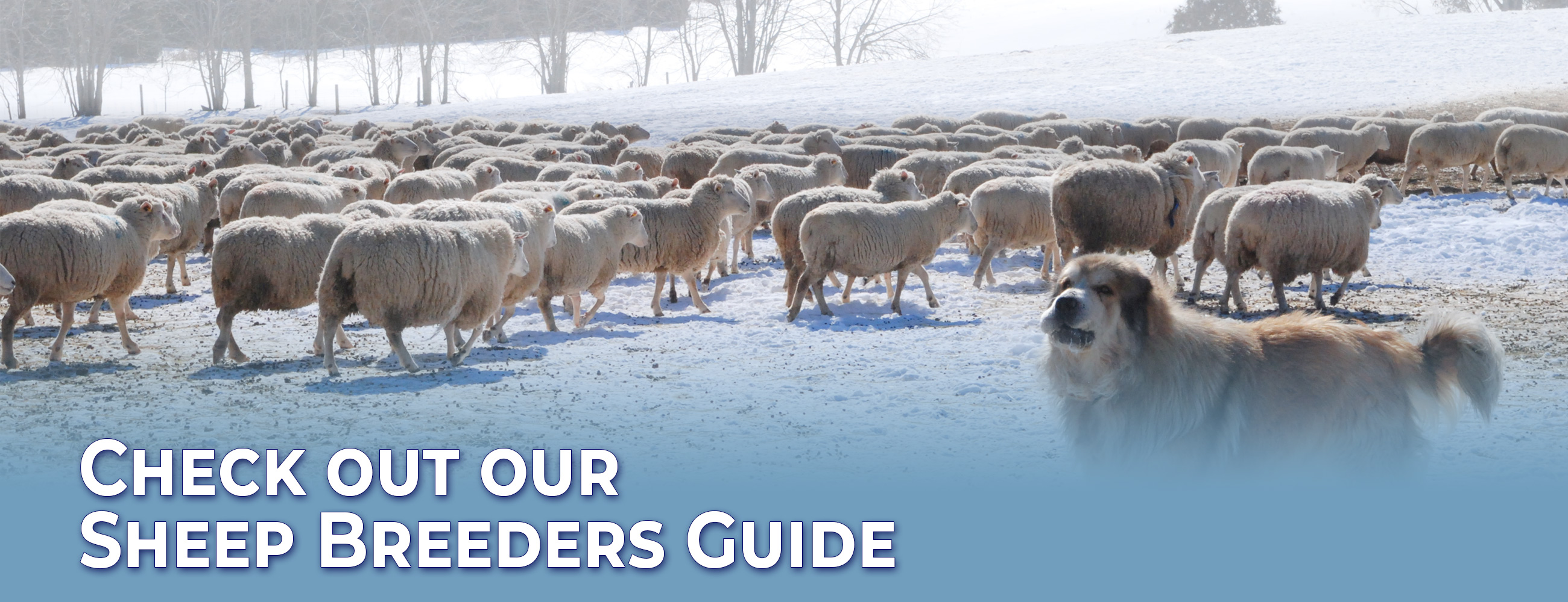 Canadian Sheep Identification Program | Canadian Co