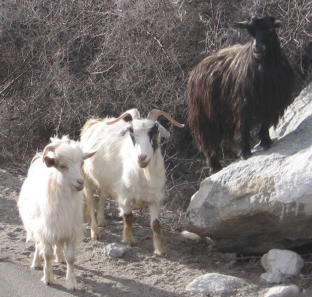 Cashmere goat breeders on wool.ca
