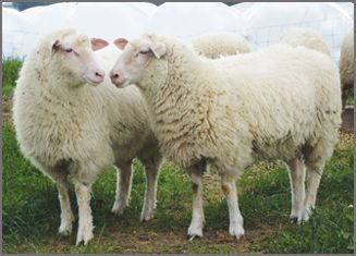 British Milk Sheep breeders listing