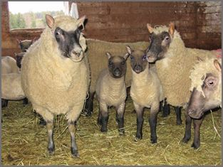 Clun Forest Sheep breeders listing