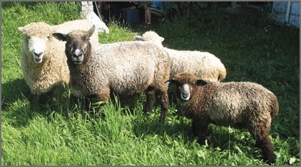 Cotswold Sheep Breeders Listing on CCWG
