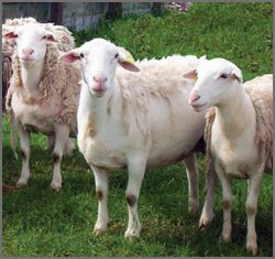 White faced Dorper Sheep Breeders listing on CCWG