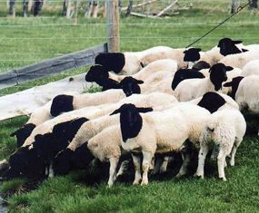 Dorper Sheep Breeders listing on CCWG