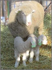 Dorset Sheep - Polled | Canadian Co-operative Wool Growers