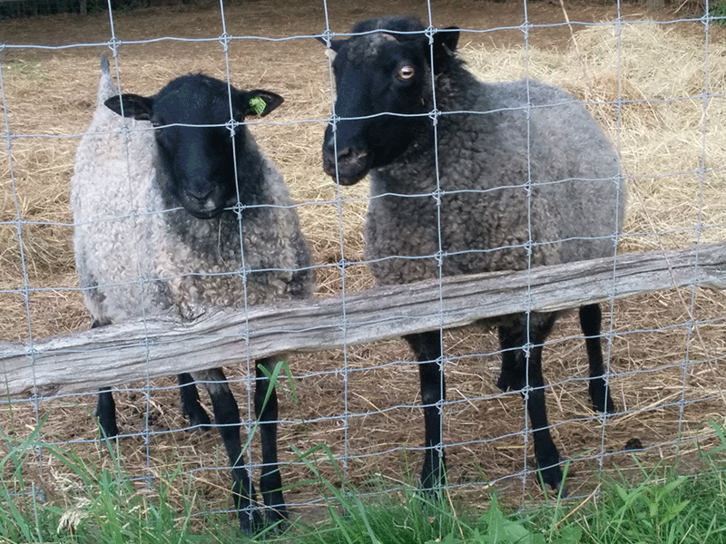 pair of Gotland sheep on the breeders listing on wool.ca