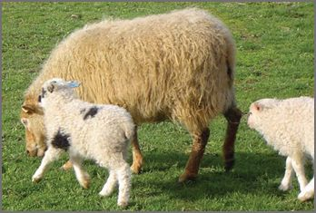 Icelandic sheep breeders listing on wool.ca