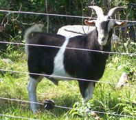 Goats | Canadian Co-operative Wool Growers Limited