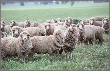 Merino sheep breeders listing