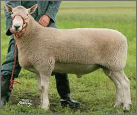 north country cheviot sheep canadian co operative wool growers limited