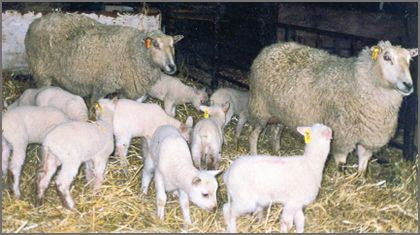 Rideau Arcott sheep breeders listing