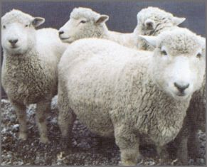 Romney sheep breeders listing