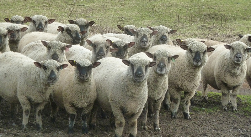 Shropshire sheep breeders listing in Canada