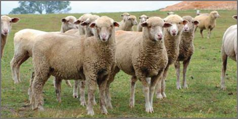 South African Meat Merino Sheep breeders listing