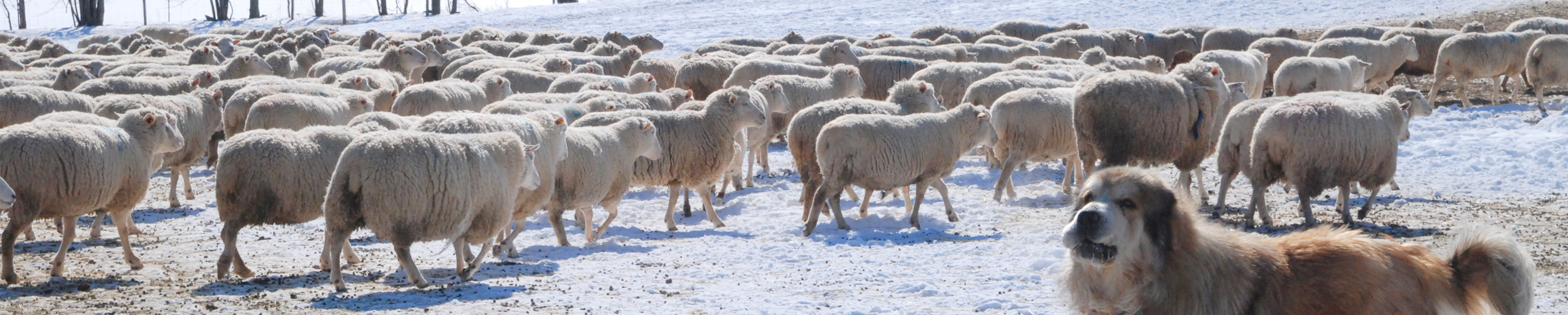 Canadian sheep in snow